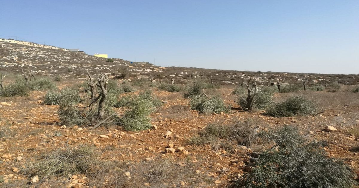 Settlers keep attacking Palestinian farmers' produce, and Israeli authorities don't care