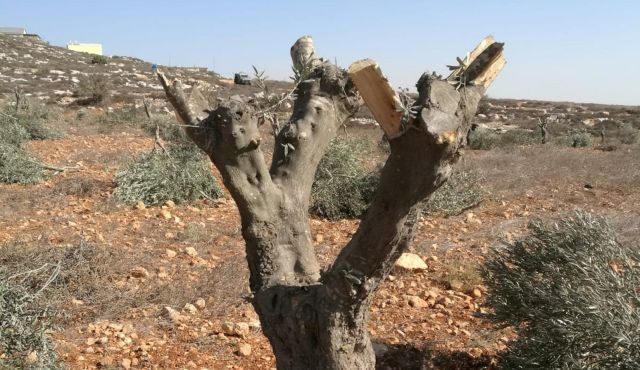 Murdering Trees On Capitol Square >> Everyone Knows Settlers Cut Down Palestinian Olive Trees But Israel
