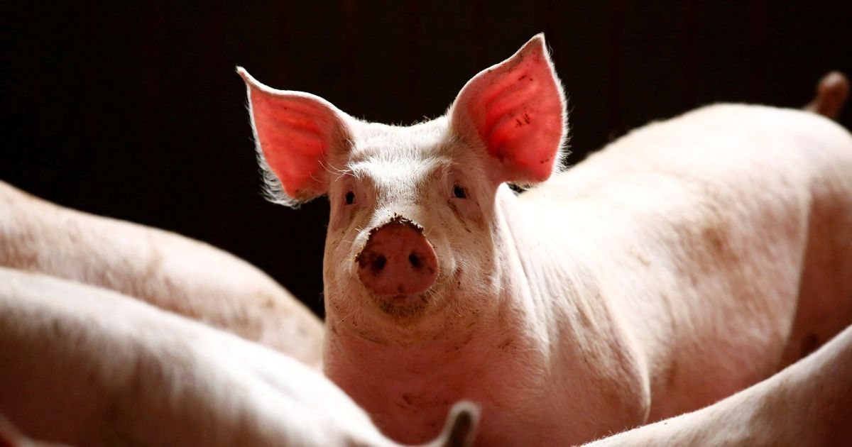 Scientists Revive Some Brain Functions in Dead Pigs Hours After Death