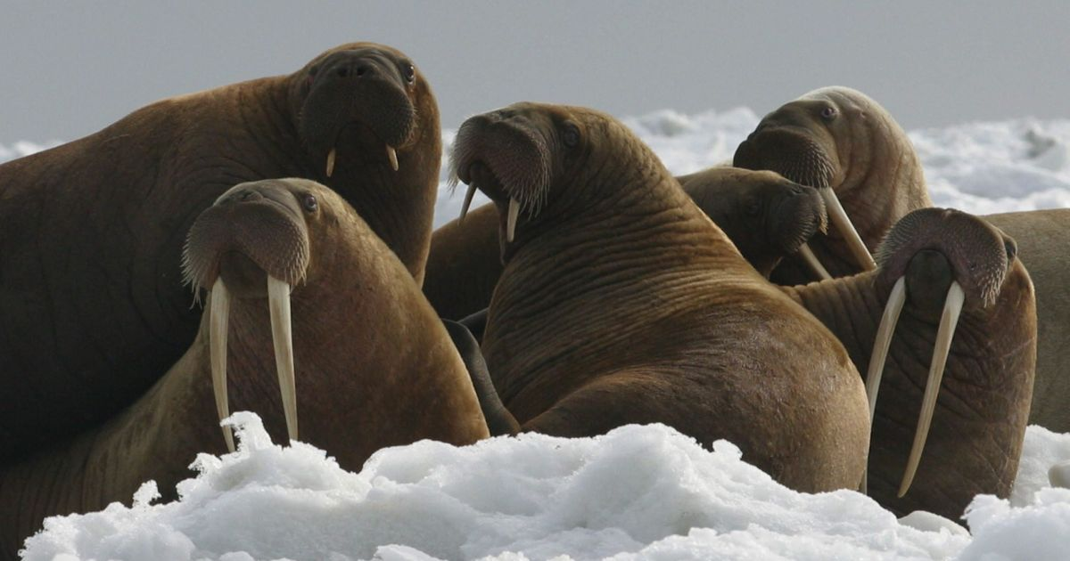 What happened to the unique Icelandic walrus? The Vikings ate it